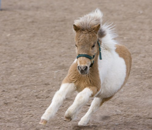 miniature horses allowed in economy class