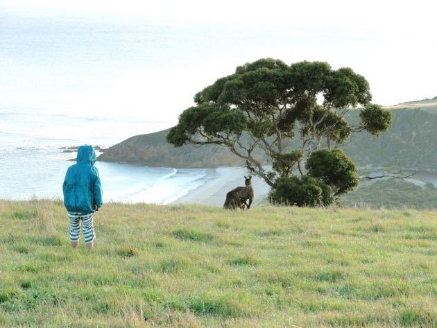 Kangaroo in a Field - Kangaroo Island