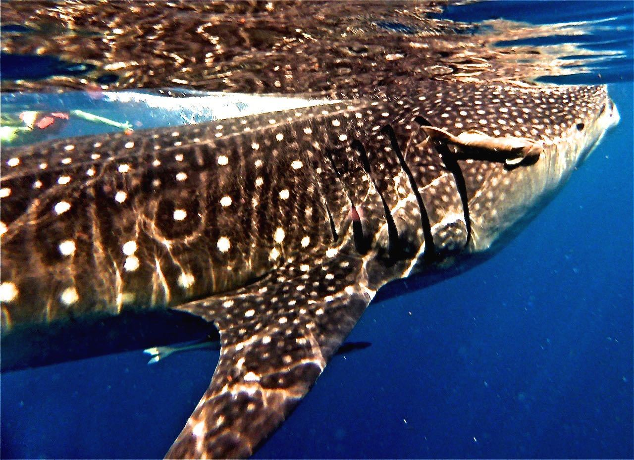 Swim with Whale Shark Cancun