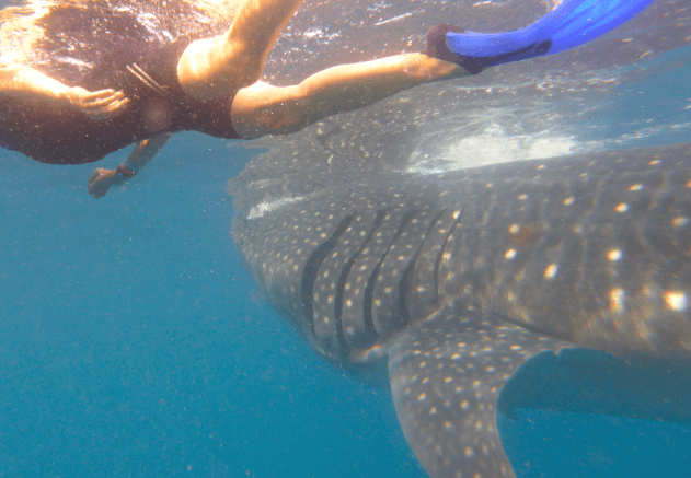 Swimming with Whale Sharks – Cancun, Mexico