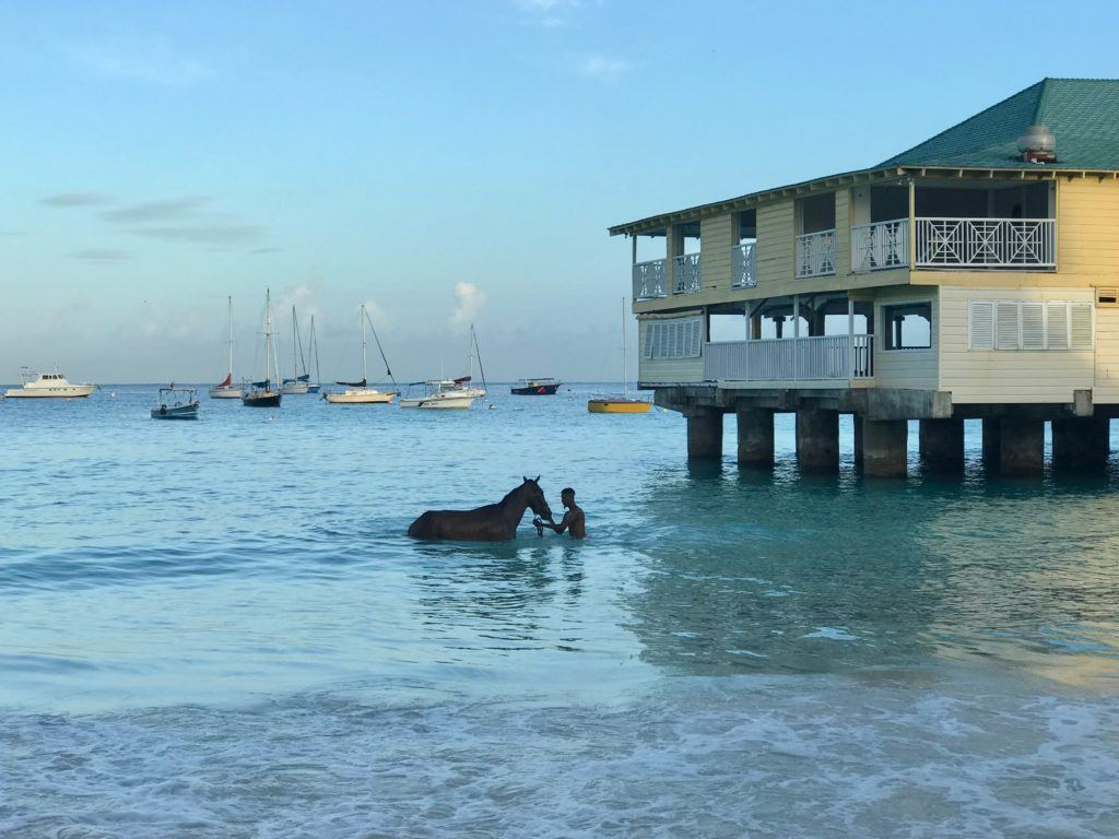 Swimming Horses Barbados