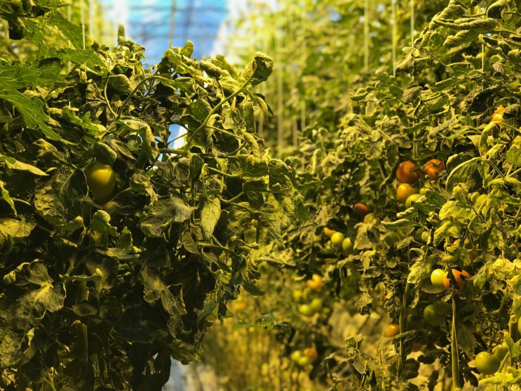 Fridheimar Tomato Greenhouse