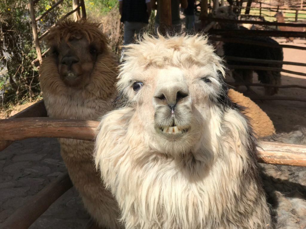 Awana Kancha Cusco Peru