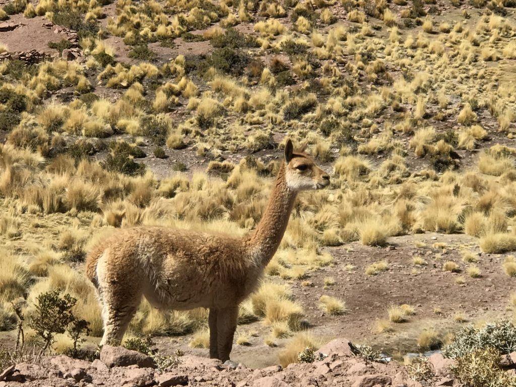 Highlands Atacama Desert - Vicuña